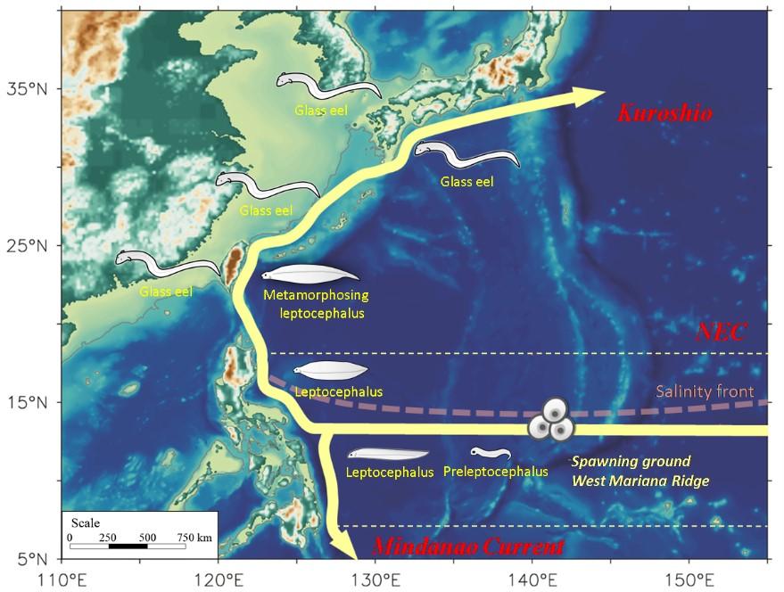 圖一:日本鰻在西北太平洋之生物地理分布圖